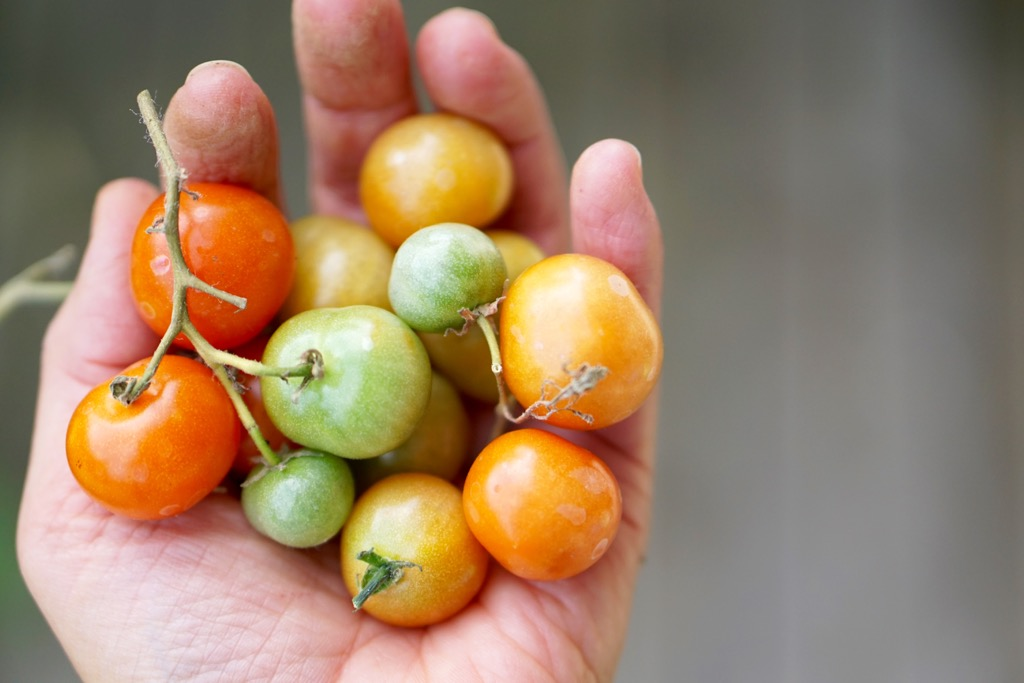 tomater i hand